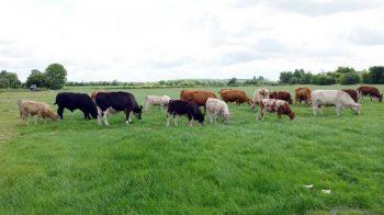 Bei der Fütterung unserer Rinder legen wir größten Wert auf Natürlichkeit und wiederkäuergerechtes Futter. Neben den Gräsern und Kräutern auf der Weide bekommen unsere Rinder nur Heu- und Grassilage. Lediglich Getreide aus der Region wird für den energetischen Ausgleich verfüttert. Komplett verzichtet wird auf Sojaschrot, Maissilage und gentechnisch veränderte Futtermittel. Ist das Rind vollständig vermarktet, kommen nur lokale Schlachtereien für die Weiterverarbeitung in Frage, sodass kurze Transportwege und somit ein Minimum an Stress für die Tiere gewährleistet ist. Diese artgerechte und schonende Haltung sorgt für die hervorragende Fleischqualität und den besten Geschmack.