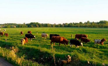 Unsere Herde besteht sowohl aus Kreuzungstieren, als auch aus ganz besonderen Rindern der Rasse Welsh Black. Hier erfahrt ihr alles über Aufzucht, Futter und Haltung.