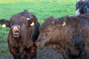 Welsh-Black-Rinder